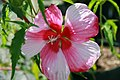 Hibiscus moscheutos Turn of the Century 1zz.jpg