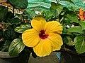 Hibiscus rosa-sinensis 94.jpg