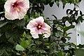 Hibiscus rosa-sinensis Smokey Mountain 2zz.jpg