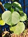 Hibiscus tiliaceus, beach hibiscus, Taipparutti. Leaf .jpg