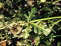 Hibiscus trionum sl41.jpg