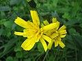 Hieracium laevigatum inflorescence (12).jpg
