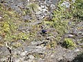 Himalayan Monal - Lophophorus impejanus - DSC09725.jpg