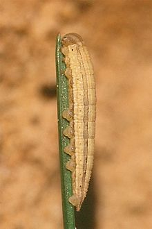 Hipparchia semele caterpillar.jpg