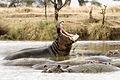 Hippopotamus amphibius (Serengeti, 2009).jpg
