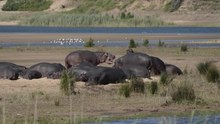 Datei:Hippos in the Hluhluwe-Umfolozi Game Reserve.webm