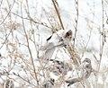 Hoary Redpoll, Greenville, MI, 21 January 2013 (8403292842).jpg