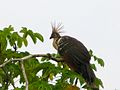 Hoatzin bird Amazon jungle.jpg