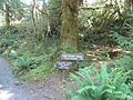 Hoh Rainforest - Olympic National Park - Washington State (9780288062) (2).jpg