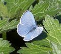 Holly Blue .upperside. Celastrina argiolus - Flickr - gailhampshire.jpg