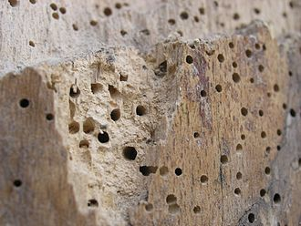 Woodworm - Wood affected by woodworm