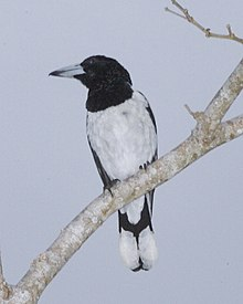 Hooded Butcherbird (Cracticus cassicus) perched on branch.jpg