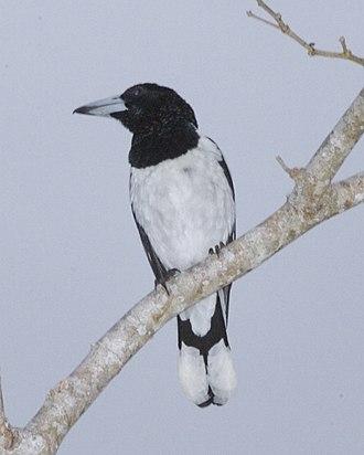 Hooded butcherbird - Photo taken in Biak, Papua