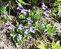 Hookedspur violet (Viola adunca) - Flickr - brewbooks.jpg