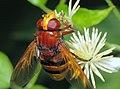 Hornet mimic hoverfly -Volucella zonaria (20161825052).jpg