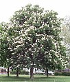 Horse chestnut tree in flower, North Acton Recreation Ground - geograph.org.uk - 170911.jpg