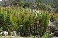 Horsetail Restio (Elegia capensis) (32859957261).jpg