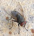 House Fly on Wall.jpg