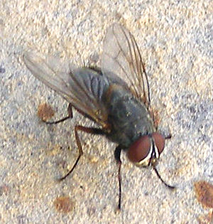House Fly on Wall