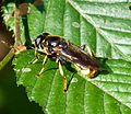 Hoverfly - Flickr - gailhampshire (16).jpg