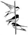 Huiszwaluw Delichon urbica Jos Zwarts 8.tif