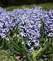 Hyacint2.jpg