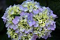 Hydrangea macrophylla Endless Summer 3zz.jpg