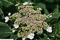 Hydrangea macrophylla Variegata 1zz.jpg