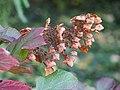 Hydrangea quercifolia Horensja dębolistna 2017-10-15 01.jpg