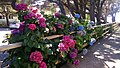 Hydrangeas at Curry County Fairground - panoramio (1).jpg