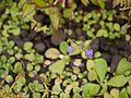 Hygrophila serpyllum (5085627093).jpg