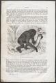 Hylobates syndactylus - 1700-1880 - Print - Iconographia Zoologica - Special Collections University of Amsterdam - UBA01 IZ19800086.tif