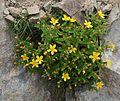Hypericum senanense subsp. senanense (Mount Yakushi).JPG