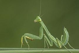 I'm Mantis.jpg
