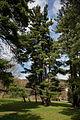 ID 983 Pinus strobus 002.jpg