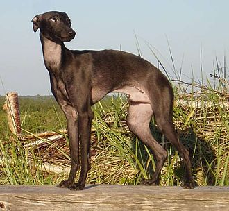 Italian Greyhound - The breed has a short and almost odorless coat that requires little grooming