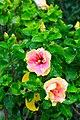 IMG 7797 ชบา (Hibiscus) Photographed by Peak Hora.jpg
