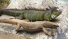 Monitor lizard Wikipedia