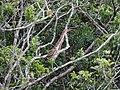Ilha das Peças 2015 29 Socó-boi.jpg