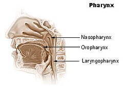 pharynx wikipedia Diagram of Maxillary Sinuses