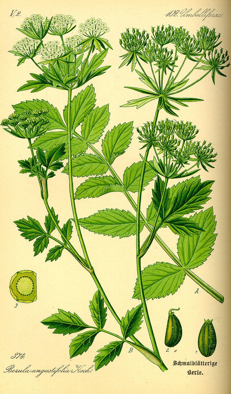 Sedanina (Berula erecta)