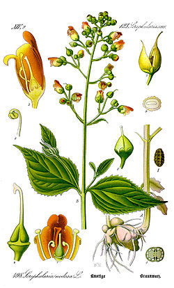Illustration Scrophularia nodosa0 clean.jpg