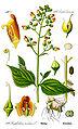 Illustration Scrophularia nodosa0 clean.jpg