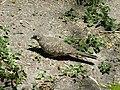 Inca Dove 2018 003.jpg