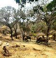 Indian Bisons.jpg