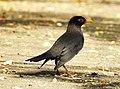 Indian Blackbird Turdus simillimus by Dr. Raju Kasambe DSCN0094 (3).jpg