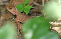 Indian Garden Lizard (Calotes versicolor) W IMG 0163.jpg