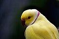 Indian Ringnecked Parrot. (Psittacula krameri) (9107400482).jpg