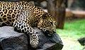 Indian leopard! (42350935164).jpg