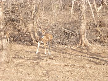 Indian spotted deer (chital) male.jpg